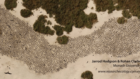 Crested Tern colony on a remote island in north-western Australia photographed by a UAV.