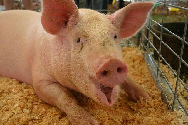 handsome pig