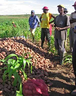 Smallholder potato farmers in Angola
