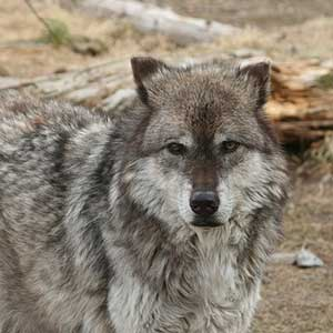 A Yellowstone grey wolf