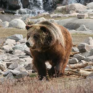 A Yellowstone grizzly
