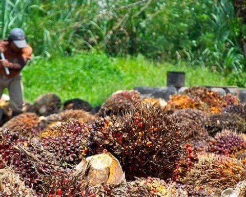 Palm Oil fruit harvest. Photo by Craig Morey