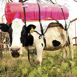 Researchers are experimenting with capturing methane emissions from enteric fermentation using plastic backpacks.
